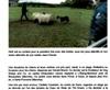 Vign_2eme_article_troupeau
